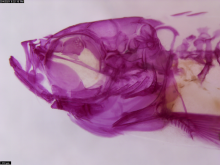 Gina Georgadarellis' entry gives the lateral view of a zebrafish skull when the fish was participating in forced swim tests